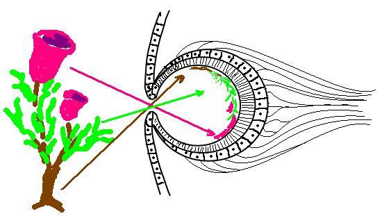 Auge Napfschnecke